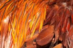 Красный цвет пера петуха текстуры Стоковая Фотография RF