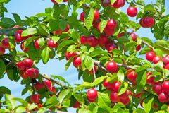 красный цвет плодоовощ Стоковая Фотография RF