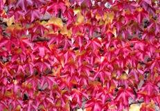 красный цвет плюща Стоковые Фото