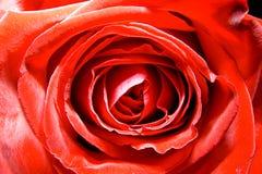 красный цвет поднял Стоковое Изображение