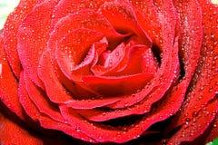 красный цвет поднял Стоковые Фотографии RF
