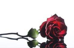 красный цвет поднял Стоковые Фото