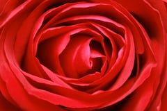 красный цвет поднял Стоковые Изображения