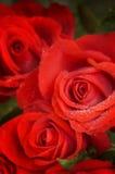 красный цвет поднял стоковое изображение rf