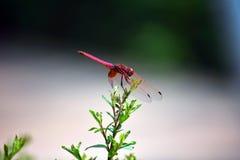 Красный цвет покрасил муху дракона Стоковые Изображения RF