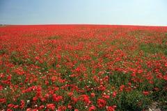 красный цвет поля Стоковые Изображения RF