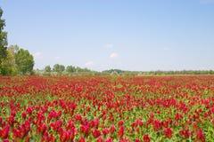 красный цвет поля Стоковые Изображения