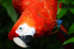 красный цвет попыгая Стоковое Изображение RF