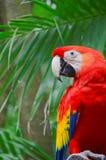 красный цвет попыгая macaw стоковая фотография rf
