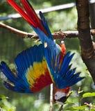 красный цвет попыгая macaw Стоковое Фото
