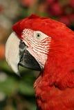 красный цвет портрета попыгая Стоковая Фотография RF