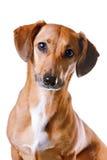 красный цвет портрета dachshund стоковые изображения
