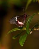 красный цвет почтальона бабочки мимический Стоковая Фотография