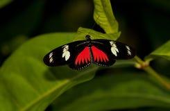 красный цвет почтальона бабочки мимический Стоковые Фото