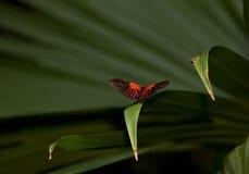 красный цвет почтальона бабочки Стоковые Изображения