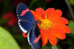 красный цвет почтальона heliconius erato Стоковые Фотографии RF