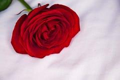 Красный цвет поднял на белую предпосылку Стоковое Изображение