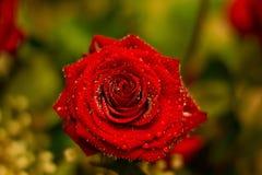 красный цвет поднял Стоковая Фотография