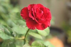 красный цвет поднял Стоковая Фотография RF