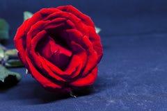красный цвет предпосылки голубой поднял Красивое цветение с лепестком бархата Стоковые Изображения