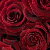 красный цвет предпосылки поднял Стоковое Изображение