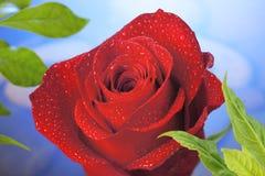 красный цвет предпосылки поднял Стоковая Фотография RF