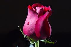 красный цвет предпосылки черный поднял Стоковое Фото