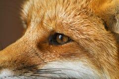 красный цвет профиля лисицы Стоковые Фотографии RF