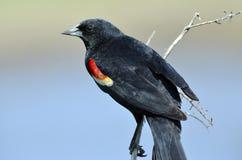 красный цвет птицы черный подогнал Стоковая Фотография