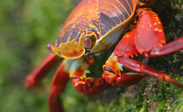 красный цвет рака Стоковые Фотографии RF