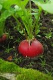 красный цвет редиски Стоковое Изображение RF