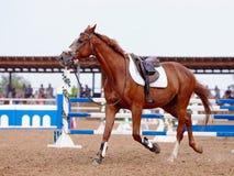 Красный цвет резвится лошадь в поле для конкуренций. Стоковые Изображения RF