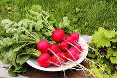 Красный цвет редиски в белой плите Стоковая Фотография RF