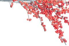 красный цвет рождества ветви ягод Стоковые Изображения RF