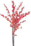 красный цвет рождества ветви ягод Стоковое Изображение