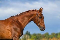красный цвет Россия портрета лошади altay Стоковые Изображения