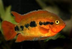 красный цвет рыб аквариума Стоковые Фото