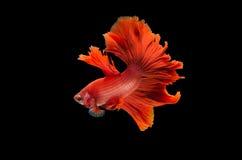 красный цвет рыб черноты betta предпосылки Стоковые Фотографии RF