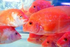 красный цвет рыб Стоковая Фотография