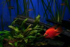 красный цвет рыб Стоковое Изображение RF