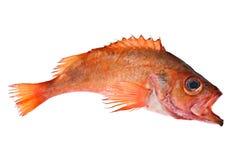 красный цвет рыб Стоковое Изображение