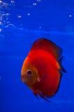 красный цвет рыб discus Стоковое Изображение