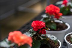 красный цвет сада поднял стоковые изображения rf