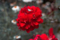 красный цвет сада цветка стоковые фотографии rf