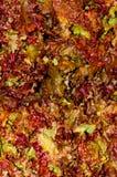 красный цвет салата листьев дисплея Стоковые Фото