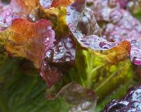 красный цвет салата листьев Стоковые Фотографии RF