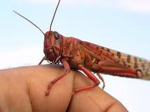 красный цвет саранчука Стоковое Изображение RF