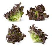 красный цвет салата листьев Стоковые Фото