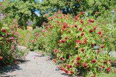красный цвет сада поднял Стоковое фото RF