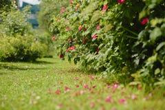 красный цвет сада поднял Стоковая Фотография RF